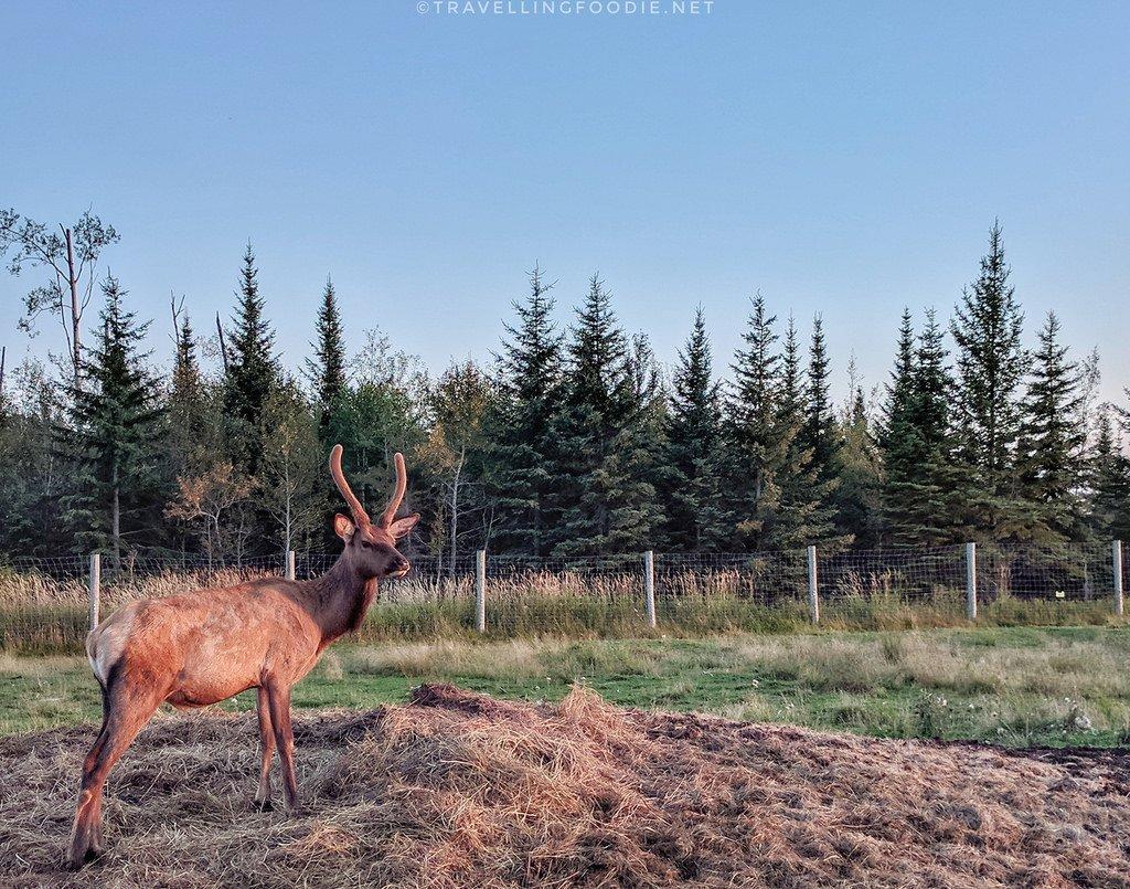Elk during Wilderness Tour at Cedar Meadows Resort in Timmins, Ontario