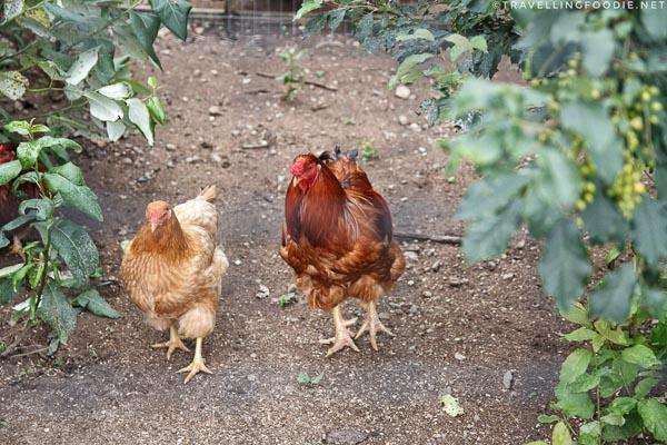 Heritage Breed Chantecler Chicken at Abbey Gardens, Haliburton, Ontario