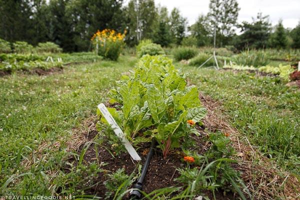 Vegetable gardens at Abbey Gardens, Haliburton, Ontario