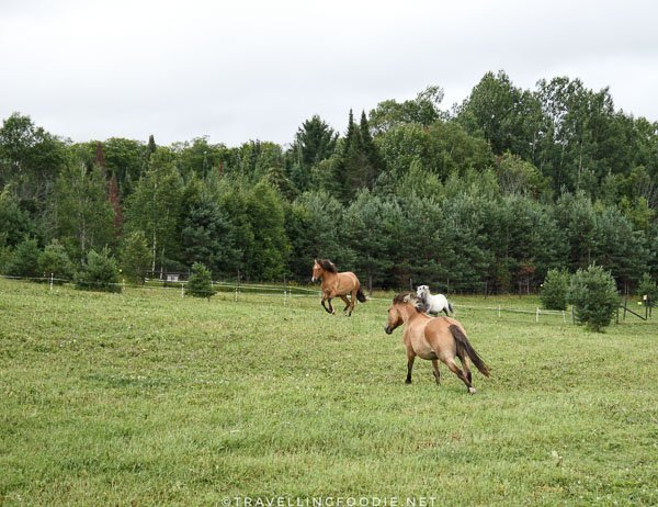 Heritage Breed Lac La Croix Indian Ponies running at Abbey Gardens, Haliburton, Ontario