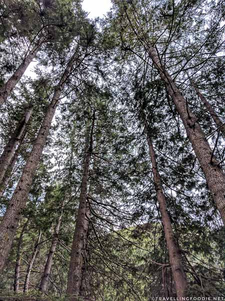 Tall Trees at St. John's Point in Comox Valley, British Columbia