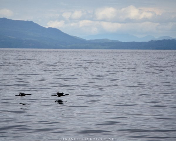 Seals on Mitlenatch Island in Comox Valley, British Columbia