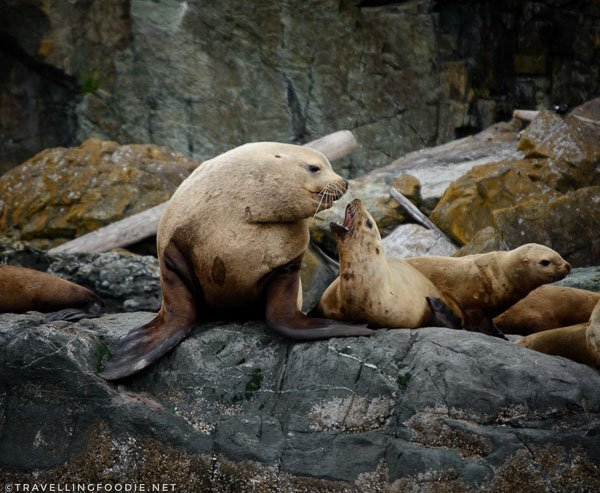 Sea Lions kissing on Mitlenatch Island in Comox Valley, British Columbia