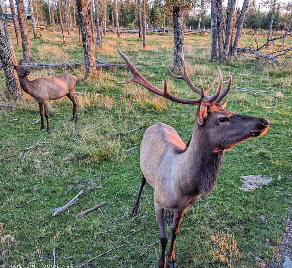 Two elks during wilderness tour at Cedar Meadows in Timmins, Ontario