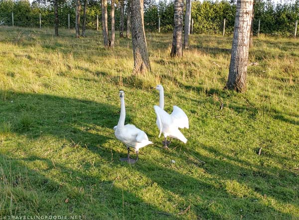 Swans during Wilderness Tour at Cedar Meadows in Timmins, Ontario