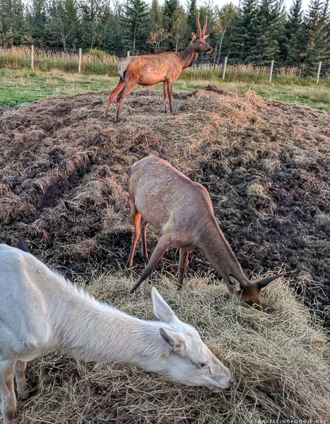 One elk on top of the hay, and an elk and cow eating hay