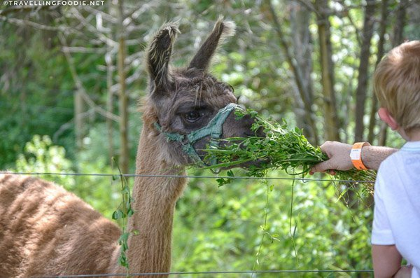 Feed the alpacas at Leaping Deer Adventure Farm in Ingersoll, Oxford County, Ontario