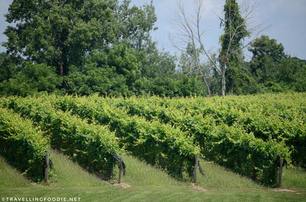 Vineyards at Burning Kiln Winery in St. Williams, Norfolk County, Ontario