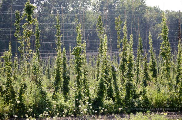 Hop farm at Charlotteville Brewing Company in Simcoe, Norfolk County, Ontario