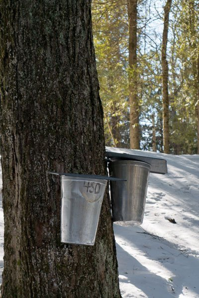 Modern buckets for collecting Maple tree sap at Ganaraska Forest Centre in Port Hope, Ontario