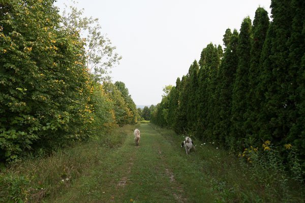 Doggy trail at Haute Goat Farm in Port Hope, Ontario
