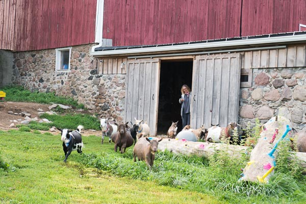 Goats getting released at Haute Goat Farm in Port Hope, Ontario