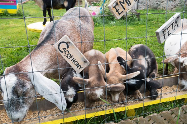 Goat Feeding Frenzy at Haute Goat Farm in Port Hope, Ontario