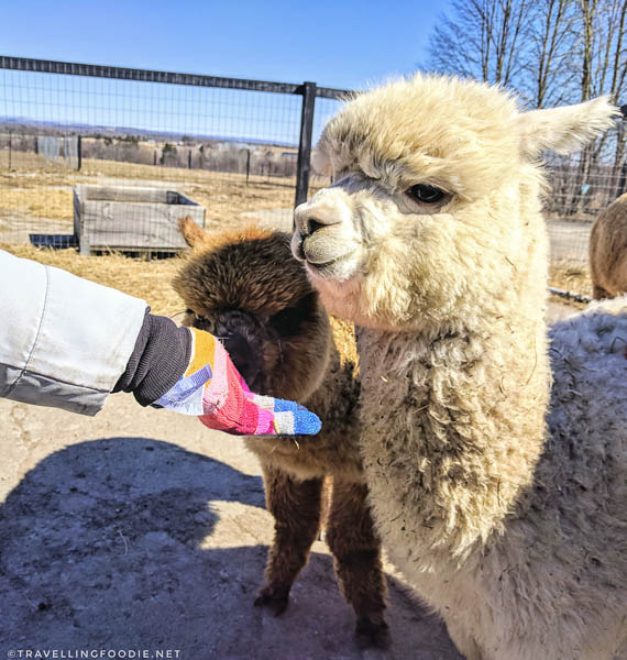 Feeding Alpacas at Haute Goat Farm in Port Hope, Ontario