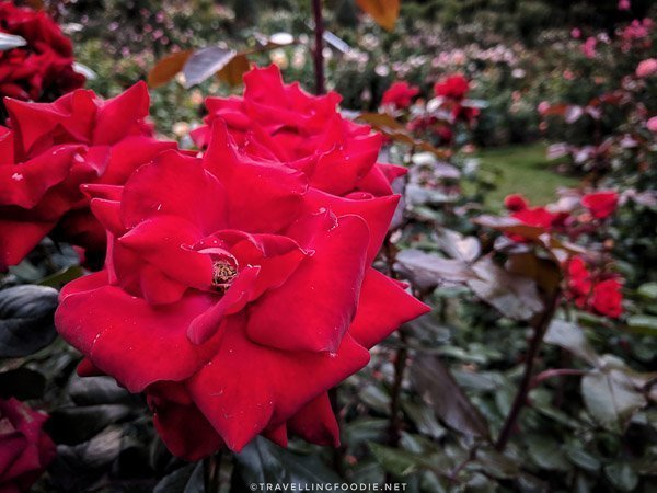 Red Rose at International Rose Test Garden in Portland, Oregon