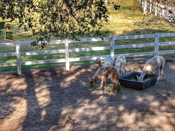 Alpacas at Saddlerock Ranch in Conejo Valley, California