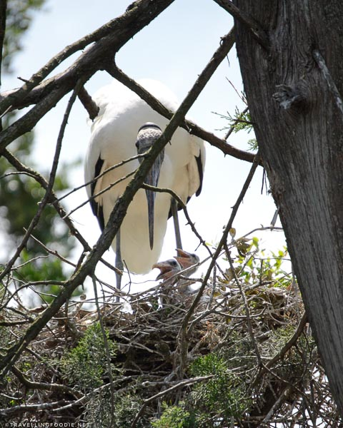 Wood Stork Birds hatching at St. Augustine Alligator Farm Zoological Park