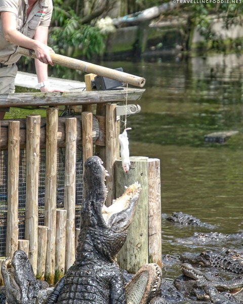 Alligator catching a rat at St. Augustine Alligator Farm Zoological Park