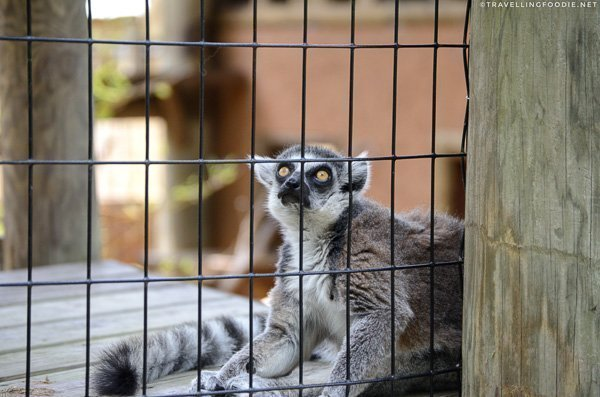 Ring-tailed lemur at St. Augustine Alligator Farm Zoological Park, St. Augustine, Florida