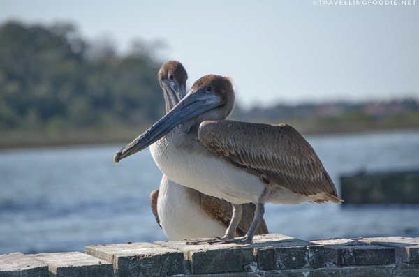 Eastern Brown Pelican during St. Augustine Eco Tour in Florida