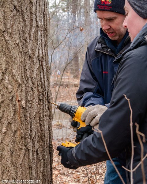 Maple tapping at Richardson's Farm and Market in Dunnville, Haldimand County, Ontario