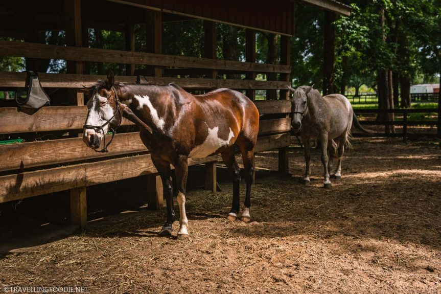 Horses at The Canyons Zip Line and Adventure Park in Ocala, Florida