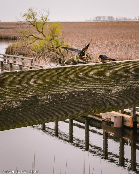 Two birds at Point Pelee Marsh Boardwalk Tower in Leamington, Ontario