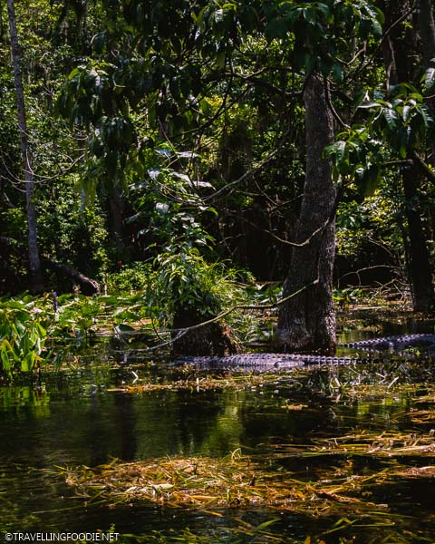 Alligator at Silver Springs State Park in Ocala, Florida