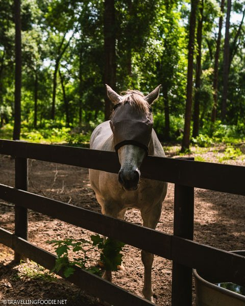 Blindfolded Horse at The Canyons Zip Line in Ocala, Florida