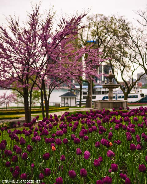 Tulips, trees and fountain at Windsor Riverfront in Ontario