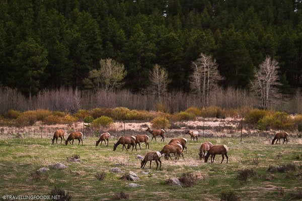 Elks eating grass at Rocky Mountain National Park, USA