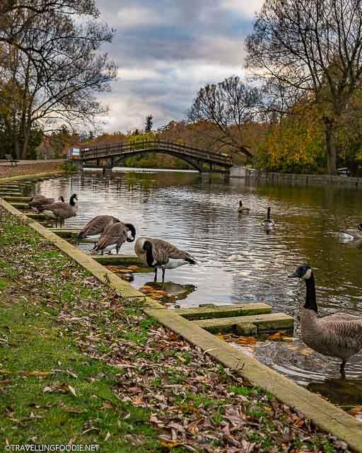 Ducks on Avon River in Stratford, Ontario