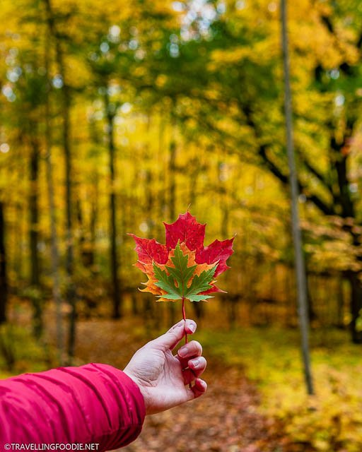 Holding red, orange and green leaves at TJ Dolan Natural Area in Stratford, Ontario