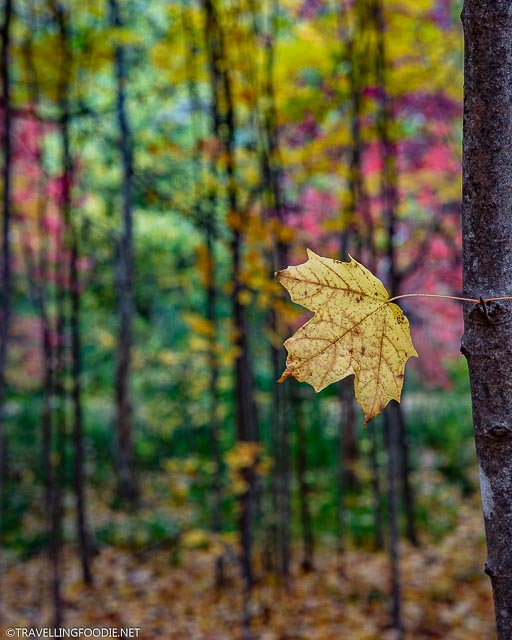 Lone yellow leaf on tree with fall background at TJ Dolan Natural Area in Stratford, Ontario
